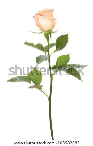 stem rose on white - stock photo