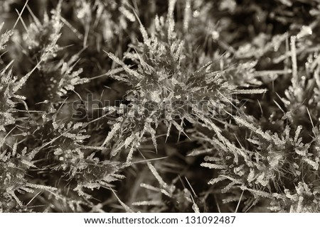 Stemless thistle - frost coating - stock photo