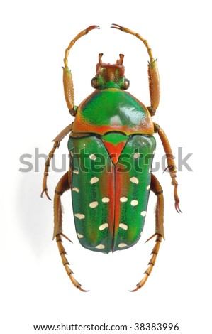 Stephanorrhina julia - stock photo