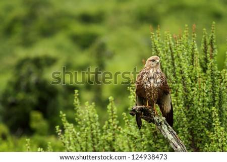 Steppe Buzzard, bird of prey perched on tree - stock photo