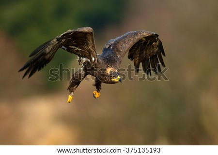 Steppe Eagle, Aquila nipalensis, bird moving action scene, flying dark brawn bird of prey with large wingspan, Norway - stock photo