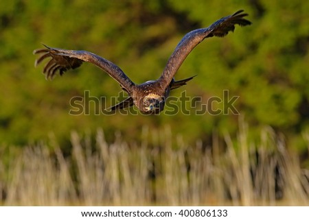 Steppe Eagle, Aquila nipalensis, bird moving action scene, flying dark brawn bird of prey with large wingspan, Sweden - stock photo