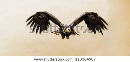 Steppe Eagle in flight in front view (Aquila nipalensis) - stock photo