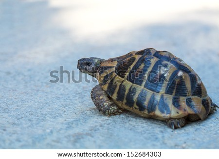 Steppe tortoise (Testudo (Agrionemys) horsfieldii) in its natural habitat crosses the road, space for text - stock photo
