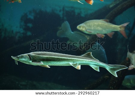 Sterlet (Acipenser ruthenus) and rudd (Scardinius erythropthalmus). Wildlife animal.  - stock photo