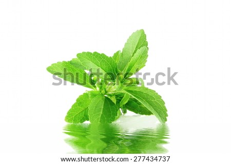 stevia herb with water reflection in pure white background - stock photo
