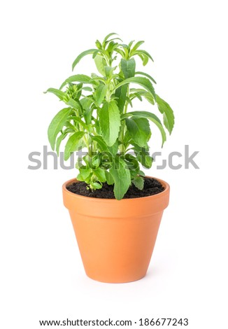 Stevia in a clay pot - stock photo