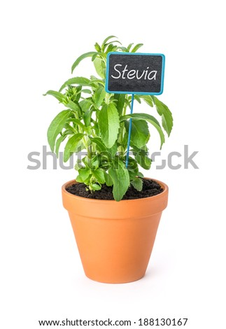 Stevia in a clay pot with a wooden label - stock photo