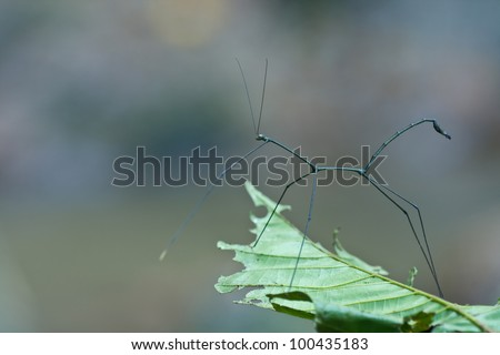 Stick insect on a leaf - stock photo