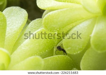 Sticky carnivorous plant butterworts Pinguicula - stock photo