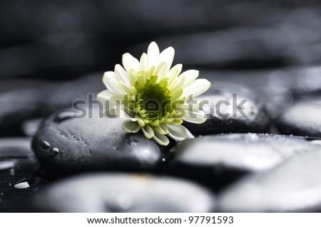 Still life white chamomiles on pebbles - stock photo