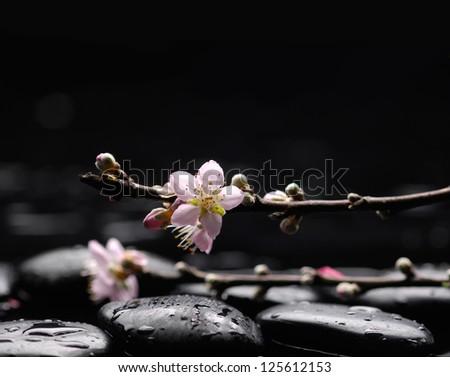 Still life with branch Cherry Blossom , Sakura flower with black stones - stock photo