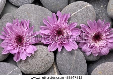 Still life with daisy and gray pebbles - stock photo