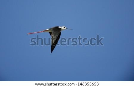 Stilt in flight - stock photo