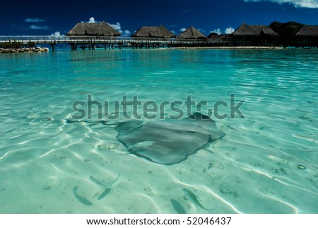 Sting Ray swimming in the Bora Bora lagoon with over water bungalows in the background - stock photo