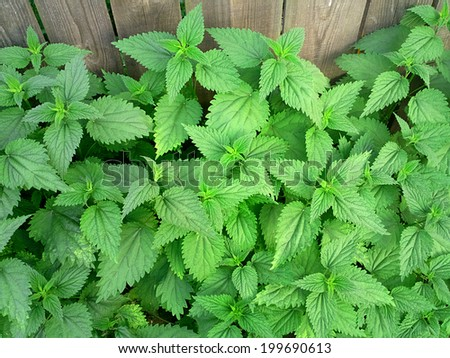 Stinging nettle / outdoors photography of urtica dioica  - stock photo