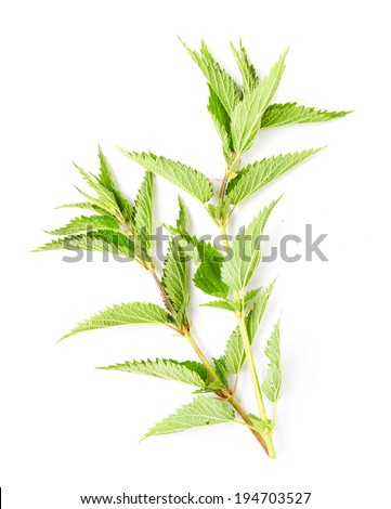 Stinging nettle (Urtica dioica) is rich in vitamins A, C, iron, potassium, manganese, and calcium. Herb can be used to treat arthritis, anemia, hay fever, kidney problems and pain.  - stock photo