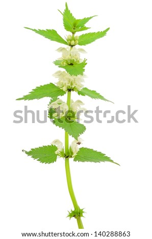 Stinging nettle (Urtica dioica) isolated on white background. - stock photo