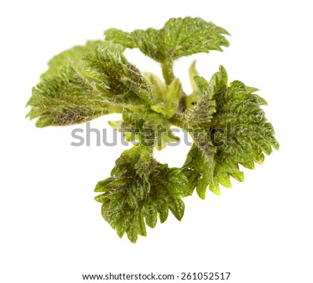 Stinging nettle (Urtica dioica) isolated over white background - stock photo