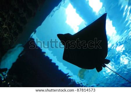 stingray silhouette in the ocean - stock photo