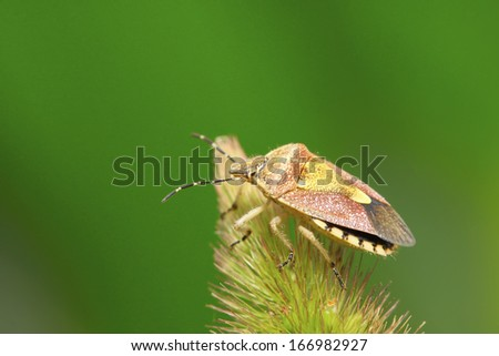 stinkbug on green leaf in the wild natural state. - stock photo