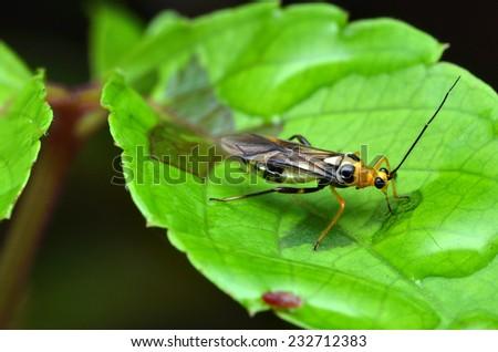 Stinkbug On The Leaf  - stock photo