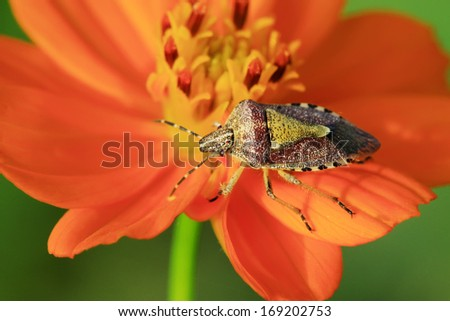 stinkbug on yellow flowers in the wild natural state. - stock photo