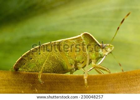 Stinkbug -Underside - stock photo