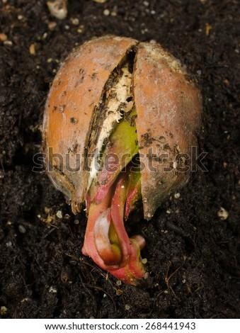 stirring acorn (red oak) - stock photo