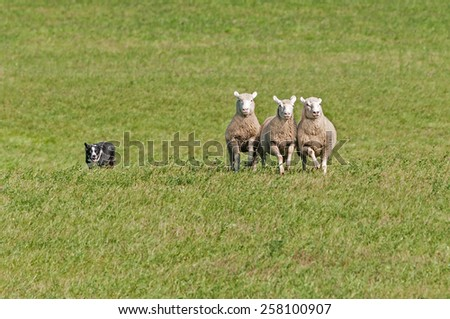 Stock Dog Herds in Sheep (Ovis aries) in green pasture - stock photo