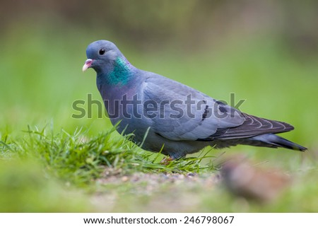 Stock Dove (Columba oenas) foraging in the grass of a bright green lawn - stock photo
