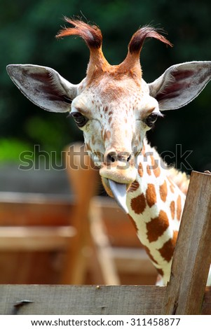 Stock image of a giraffe  - stock photo