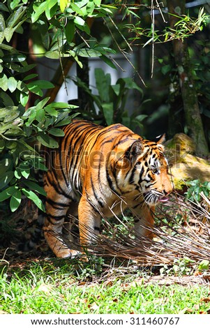 Stock image of a tiger  - stock photo