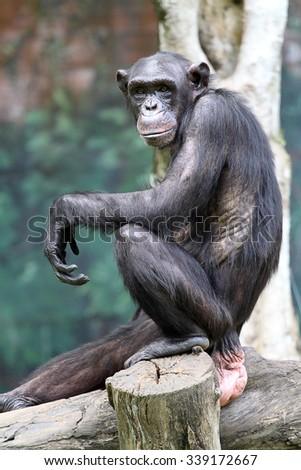Stock image of chimpanzee  - stock photo