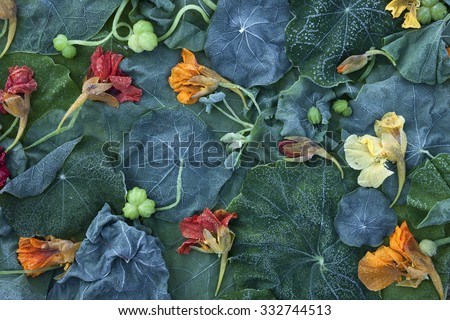 Stock image of frost-covered Garden Nasturtium (Tropaeolum majus) fading leaves and flowers at early morning in October.  - stock photo