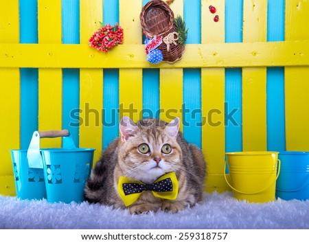 Stock Photo: Beautiful stylish purebred british cat. Animal portrait. Purebred cat is lying. Blue background. Colorful decorations - stock photo