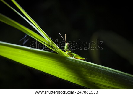 Stock Photo - Green grasshopper on leaf, macro - stock photo
