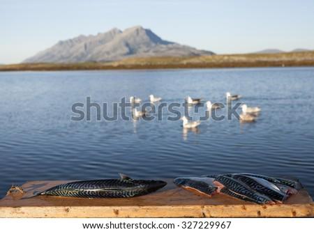 Stock photo of mackerel at cutting board at seaside in Nordland, Norway.  - stock photo