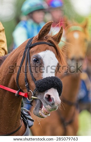 STOCKHOLM - JUNE 6: Closeup of a race horse head and teeth before race at the Nationaldags Galoppen at Gardet. June 6, 2015 in Stockholm, Sweden. - stock photo