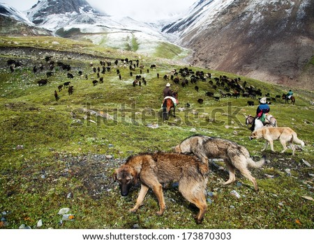 stockriders with dogs and flock in alay mountains - stock photo