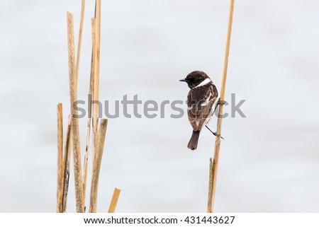 Stonechat (Saxicola torquata). Russia, Sochi (Adler). - stock photo