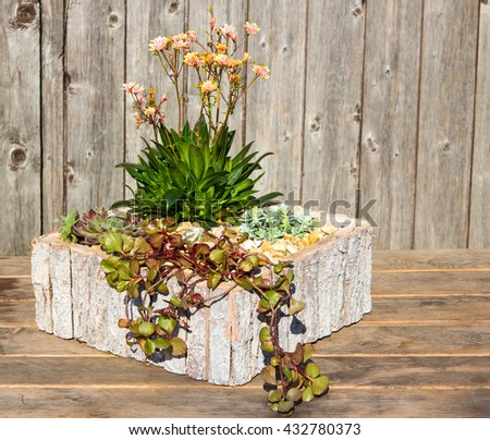 Stonecrop plants like Lewitza in a modern wooden flower pot, this plants like sun, for inside and outside decoration. - stock photo