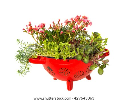 Stonecrop plants planted in a old kitchen sieve a very creative and docorative work. - stock photo