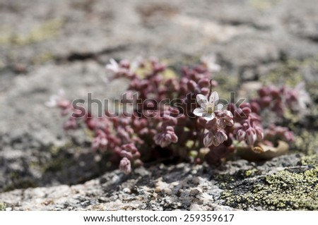 Stonecrop, Sedum brevifolium, growing on granite rocks. Photo taken in Guadarrama Mountains, La Cabrera, Madrid, Spain  - stock photo