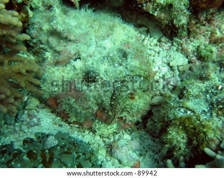 Stonefish - stock photo