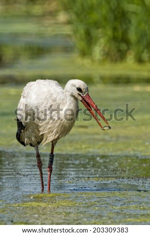 Stork portrait while eating a fish on swamp water background - stock photo