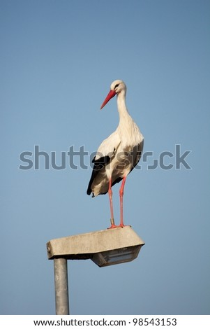 Stork standing on a streetlamp looking around for food - stock photo