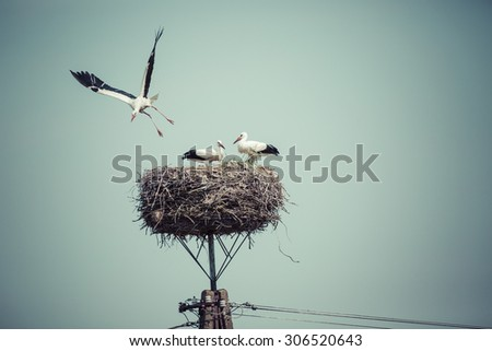 Stork with baby birds in the nest, Poland. - stock photo