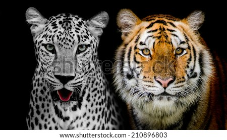 Straight face of Leopard and Tigerr. (And you could find more animals in my portfolio.) - stock photo