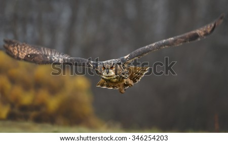 Straight flying eagle owl with outstretched wings, low to the ground and distant autumn colored background - stock photo